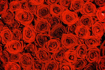 Foto op Aluminium Europa Red rose close up backgroud