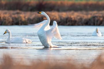 Foto op Plexiglas Zwaan Whooper swan in natural habitat. Early morning on swamp erens.