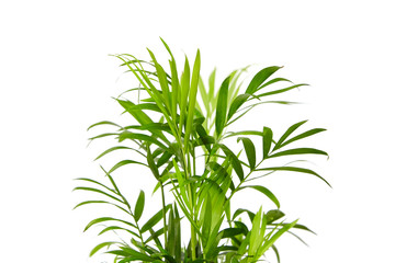 Foto auf Leinwand Pflanzen Houseplant, green leaves of indoor palm, closeup, isolated on white background. Chamaedorea, Parlor palm plant