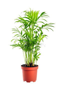 Houseplant in flowerpot isolated on white background. Indoor plant with green leaves. Chamaedorea, Parlor palm