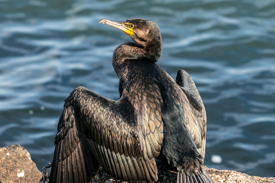 Close up of a Cormorant bird sitting in sunlight drying its wings