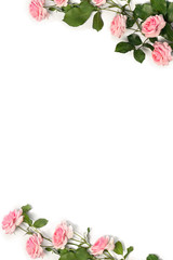 Frame of flowers pink roses with leaves on a white background with space for text. Top view, flat lay