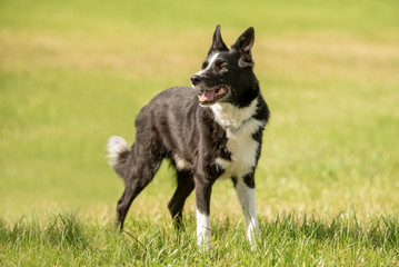 beautiful Border Collie on a green meadow outside in the nature,