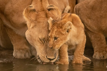 Lioness drinks from water hole with cub