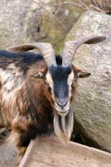Brown and black male American Pygmy achondroplastic goat, also called 'Capra aegagrus hircus'