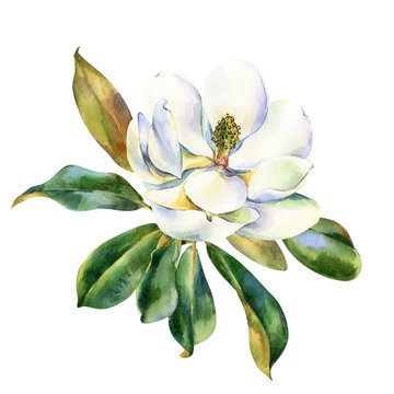Watercolor flower, branch of white magnolia with green leaves, hand drawn illustration. Stock illustration for design, wedding invitations, greeting cards, postcards, kitchen and save the date.