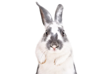 Portrait of a funny cute rabbit, closeup, isolated on a white background