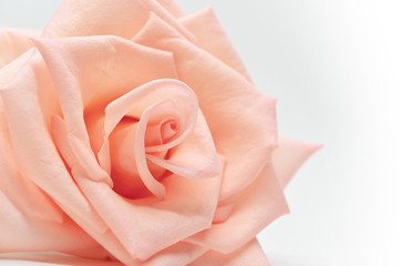 closeup beautiful petal of orange rose gold flower on white background, image used for wedding love romantic concept