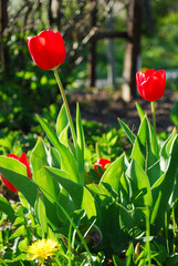 Obraz Tulipany kwiat czerwony  - fototapety do salonu