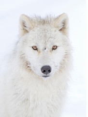 Arctic wolf headshot isolated on white background closeup in the winter snow in Canada