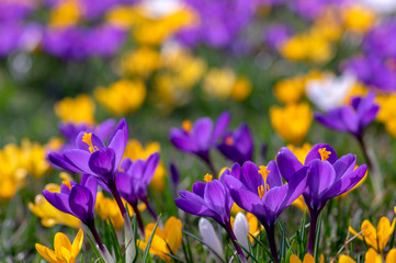 Photo sur Plexiglas Crocus Field of flowering crocus vernus plants, group of bright colorful early spring flowers in bloom