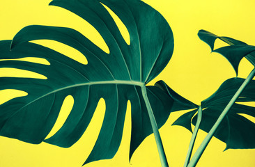 Beautiful monstera leaves (leaf) on colorful for decorating composition design background