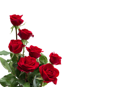 Flowers red roses on a white background with space for text