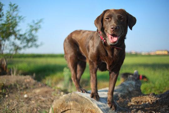 Happy chocolate labrador retriever is standing on a log