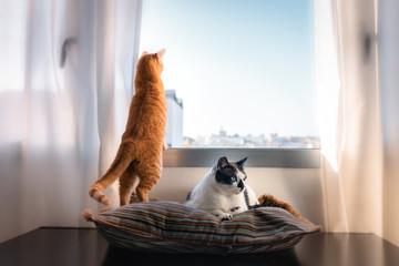 Gato atigrado mira por la ventana. A su lado, un gato blanco y negro está acostado sobre una almohada Wall mural
