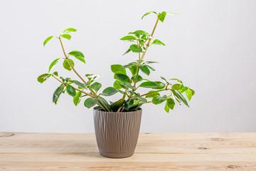 Fresh green Peperomia verticillata plant in a pot
