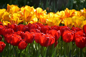 Tulipa gesneria yellow and red blooming in Keukenhof gardens