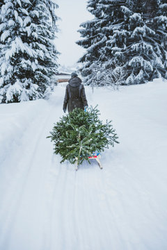Back view of woman transporting fir tree on sledge to the compost after Christmas, Jochberg, Austria