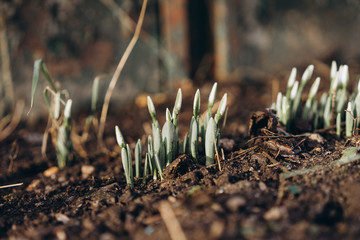 the first flowers of snowdrops in early January. abnormal climate change. the photo is made in Ukraine