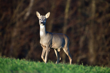 Young roe deer with without antler watching on the enemy on meadow