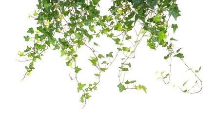 ivy isolated on a white background. Fototapete