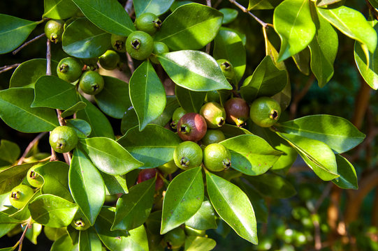 Leaves and fruits of strawberry guava (Psidium cattleyanum), Caserta Royal Palace and Park, Italy