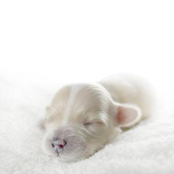 Dog cub copy space. Maltipoo newborn puppy.