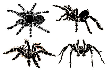 Graphical sketch of spiders isolated on white background, jpg illustration , tarantula