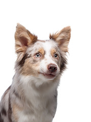 dog portrait funny face. Border Collie in the studio. Animal on a white background.