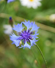 Meadow flowe with blue petals. Cornflower