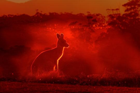 Macropus giganteus - Eastern Grey Kangaroo, standing close to the fire in Australia. Burning forest in Australia