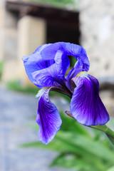 Fond de hotte en verre imprimé Iris Purple and beautiful iris