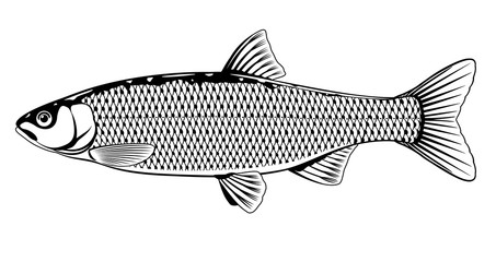 Realistic golden orfe fish in black and white isolated illustration, one freshwater fish on side view
