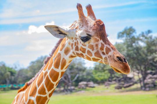 Blurred giraffe background. Wild giraffe in a pasture, Safari Park in Costa Rica.