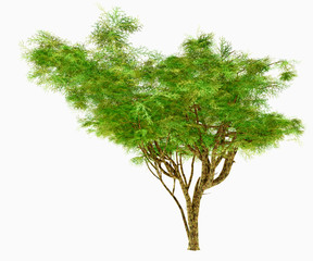 African Umbrella Acacia Tree - The Umbrella Acacia thorn tree may be either a bush or shrub under extremely arid conditions and lives in Africa and the Middle East.