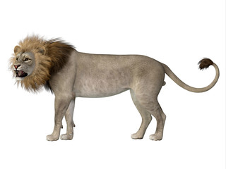 Male American Lion - The American lion lived as a megafauna predator during the Pleistocene Period of North America.