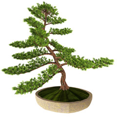 Hinoki False Cypress Bonsai Tree - This Cypress tree is a favorite of Japanese horticulturists who make miniature versions of this plant in containers.
