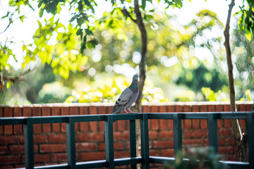 The picture of a dove standing on the wall in the green tree background