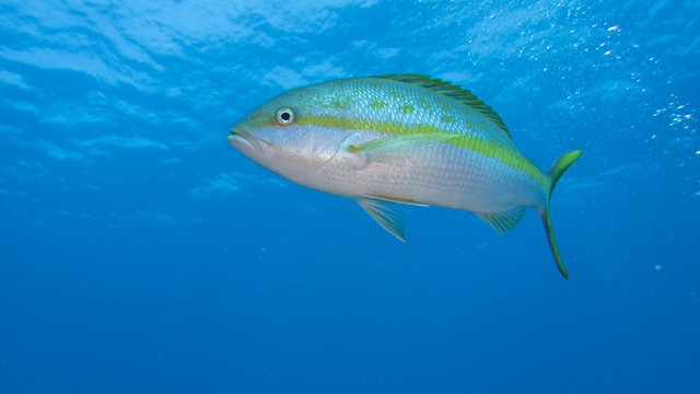Yellowtail snapper in blue water