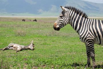 Aluminium Prints Zebra Sad zebra looking at a younger dead zebra on the ground, Africa