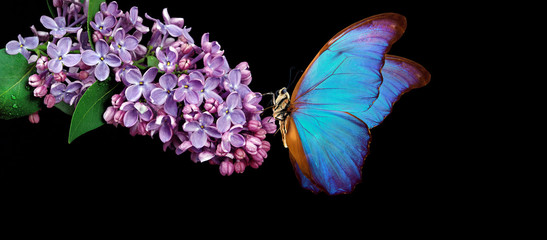 Wall Murals Lilac Beautiful blue morpho butterfly on a flower on a black background. lilac flower in water drops isolated on black. lilac and butterfly. copy spaces.