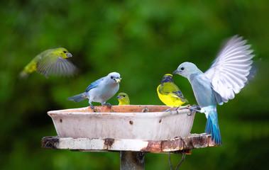 Several species of wild birds feeding in a trough in the garden of a house. Feeding trough with garden birds. Thraupis episcopus