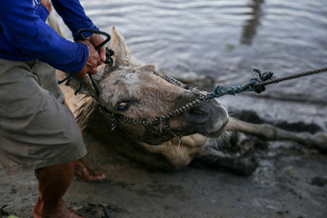 A man pulls an injured horse rescued near the erupting Taal Volcano in Talisay,