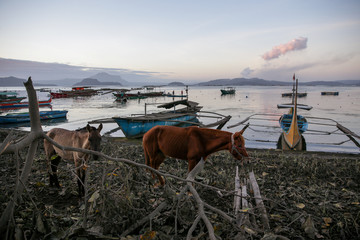 Horses rescued by their owners near the erupting Taal Volcano walk around the Taal Lake, in Talisay
