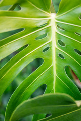 Detail of tropical green leaf