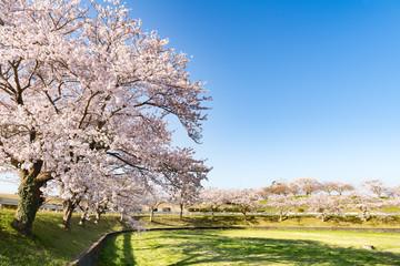 Foto op Plexiglas Zwavel geel 長沼フートピア公園満開の桜