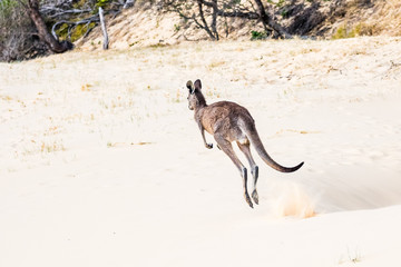 Foto op Aluminium Kangoeroe Kagaroo powerful jump