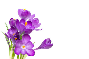 Poster Krokussen Purple Crocus flowers with green leaves isolated on white background
