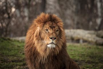 Foto op Canvas Leeuw portrait of a lion