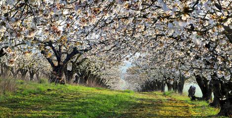 Haie de cerisiers